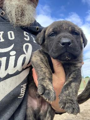 Mastiff puppies for sale