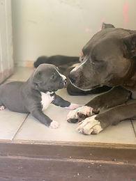 American Blue Staffy Pups
