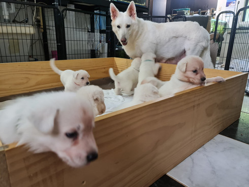 Swiss Shepard Puppies For Sale