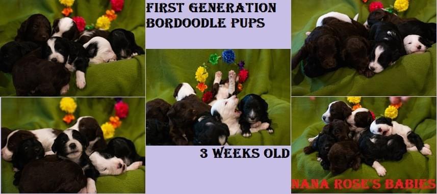 Miniature poodle stud