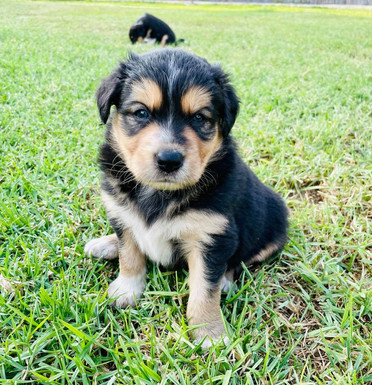Border Collie x Puppies For Sale
