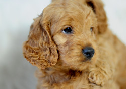Bayside Cavoodles Puppy