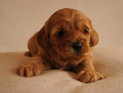 Bayside Cavoodle Puppy