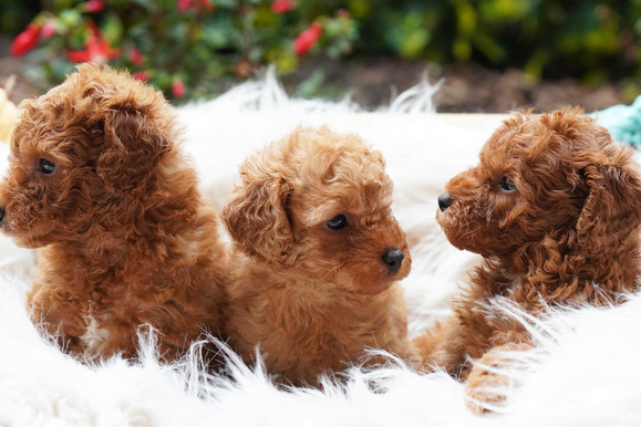 Toy Cavoodle Puppies For Sale
