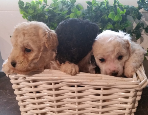Pure Bred Teacup Toy Poodle Puppies For Sale