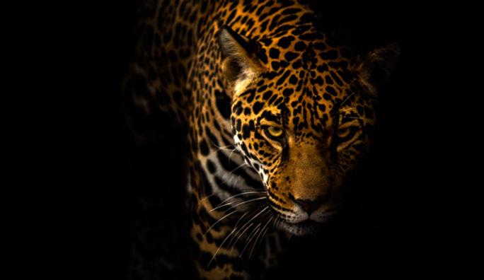 Jaguar_c_JonathanTruong.jpg