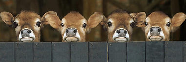 cropped-Wallpapersxl-Cows-Bing-Images-Je