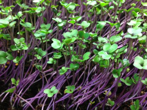 Purple Vienna Kohlrabi Microgreens