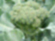 Mature Broccoli