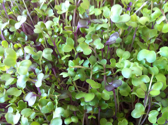 Mixed Mild Seed Blend - For Microgreens
