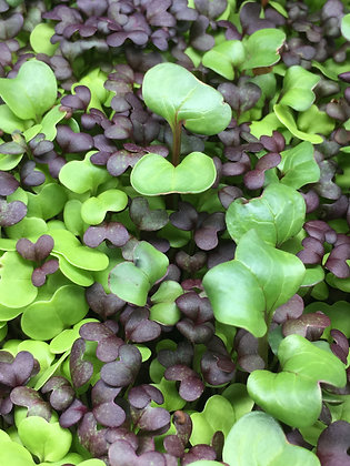 Mixed Spicy Seed Blend - For Microgreens