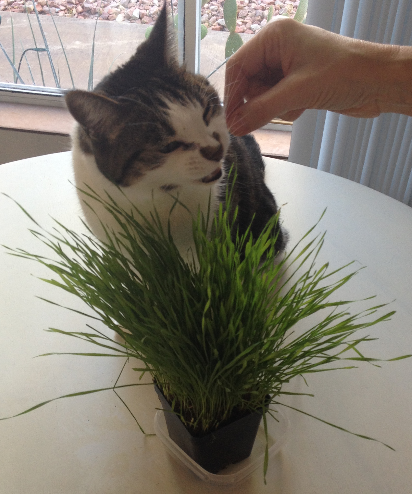 Kitty enjoying home grown wheatgrass
