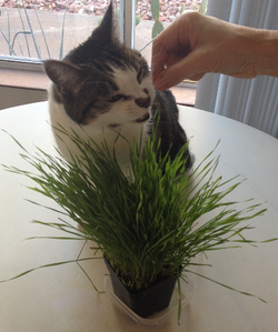 Kitty enjoying home grown wheatgrass