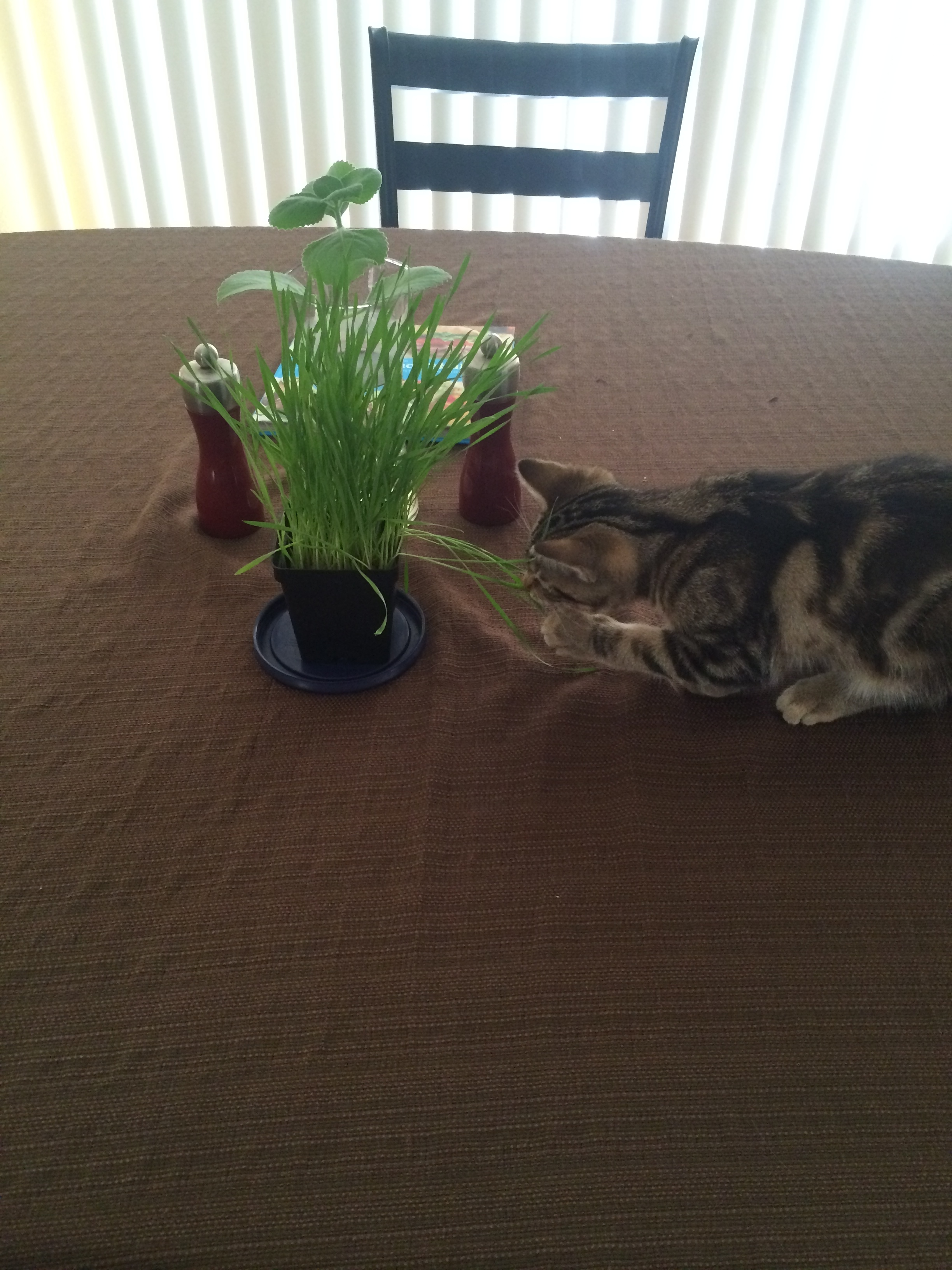 Enjoying some fresh grown cat grass