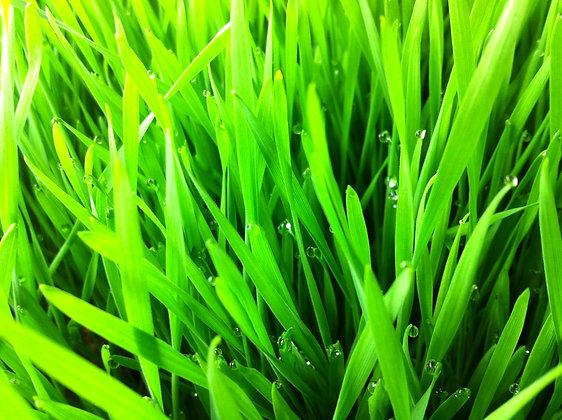 WheatGrass Seed, Organic