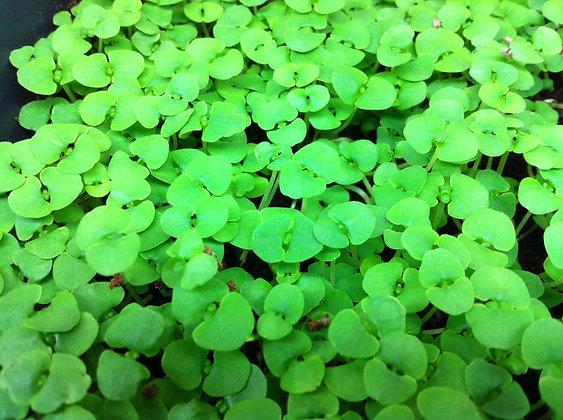 Genovese Basil Microgreens