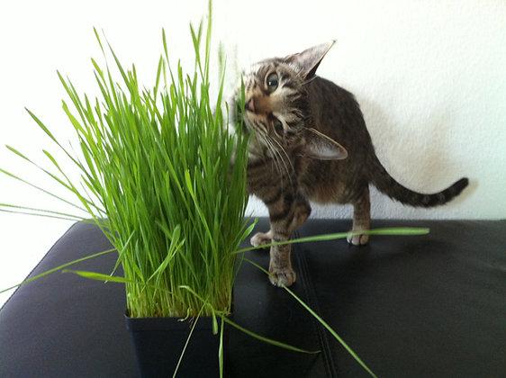 ORGANIC WHEATGRASS CAT GRASS HOME GROWING KIT