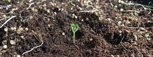Micro cilantro heart
