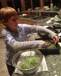 Anyone can grow microgreens at home