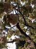鬱金桜と御衣黄桜、紅手毬 桜