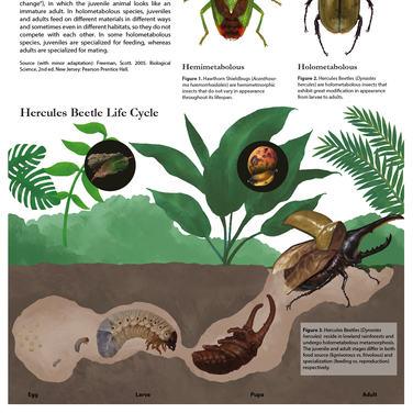 Life Cycle of Hercules Beetle