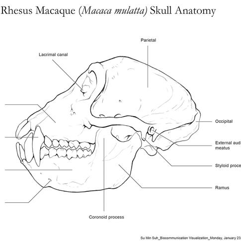 Skull Anatomy of Rhesus Macaque