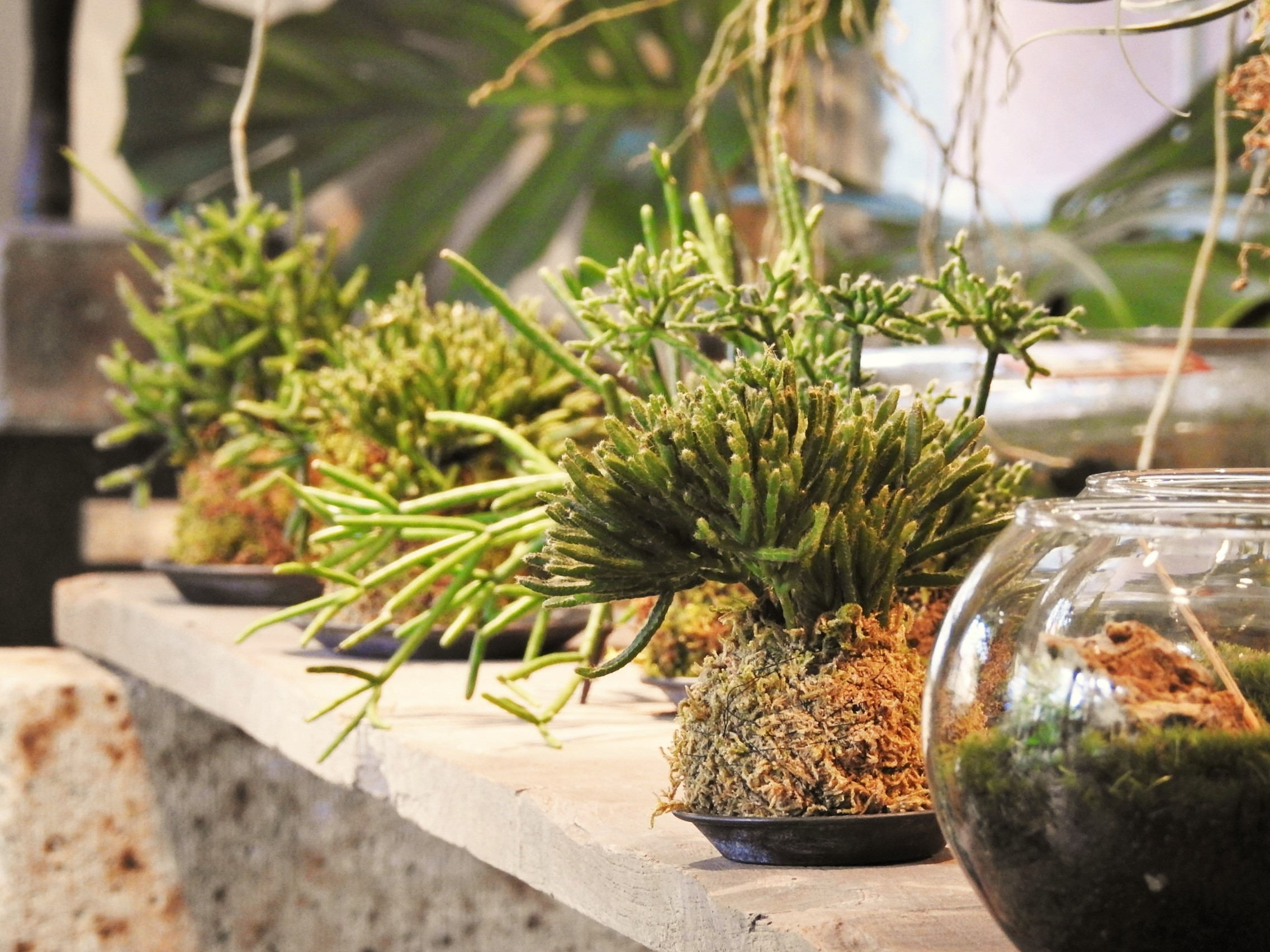 リプサリスの苔玉