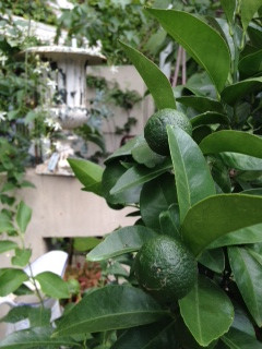 柑橘類が入って来ました!