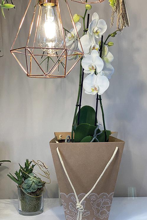 Orchidée blanche deux ampes