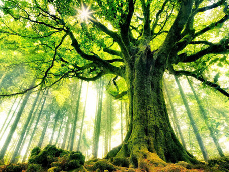 Monday Mayhem – You are the grandest tree in the forest