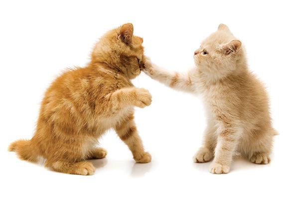 Two-ginger-kittens-play-fightings.jpg