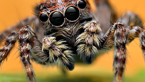 Jumping Spiders Neurobiology