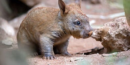 Wombat-Baby-5-26th-May-2018-960x480.jpg