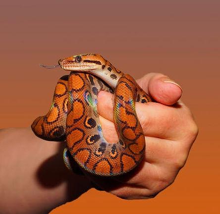 snake-rainbow-boa-reptile-scale.jpg