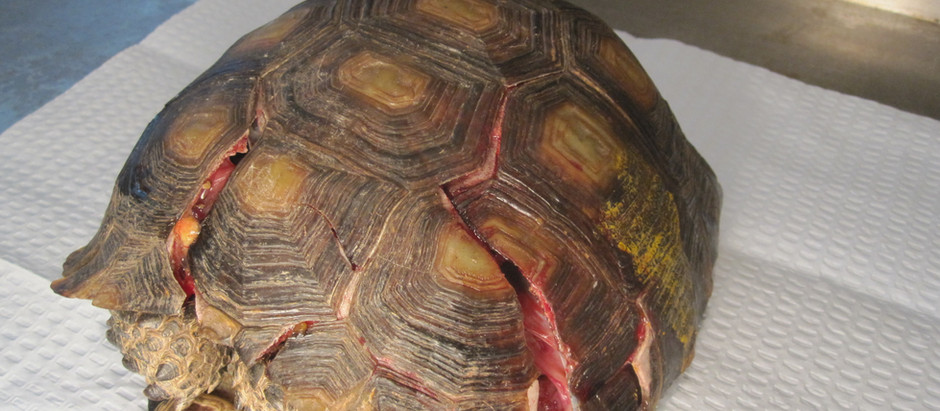 FILLING IN THE CRACKS-SHELL FRACTURES IN TURTLES
