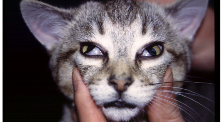 Everyone's Talking About....Feline Dysautonomia
