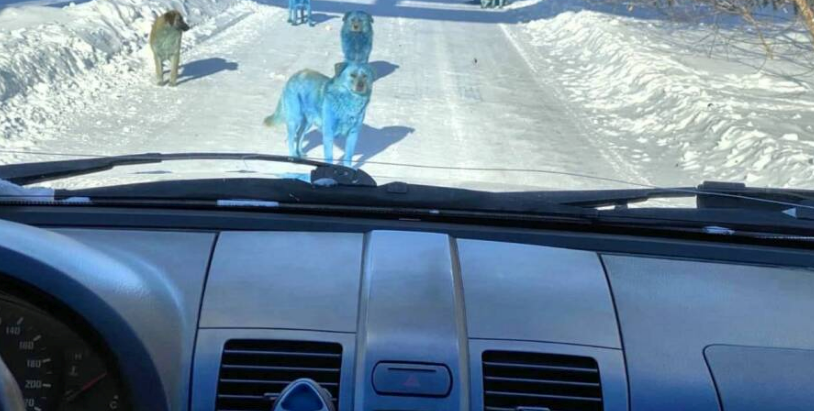 A Pack Of Blue Dogs Was Found Roaming Near A Shuttered Chemical Plant In Russia