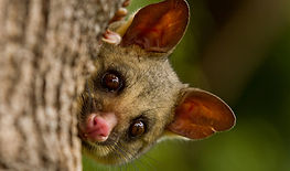 Brushtail_Possum_IMG_5017.jpg