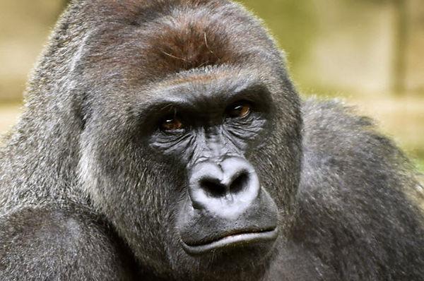 gorilla4.jpg