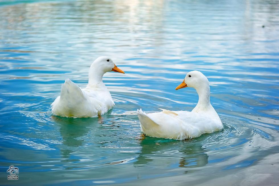 Beyaz Ördekler