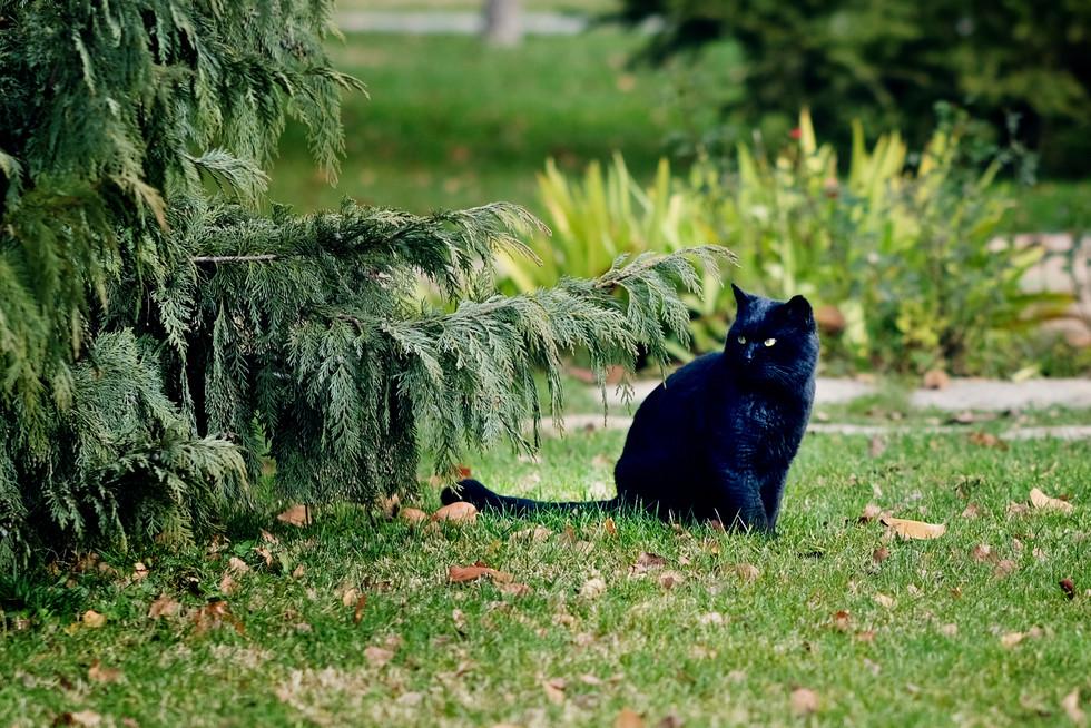 Kara Kedi Portresi