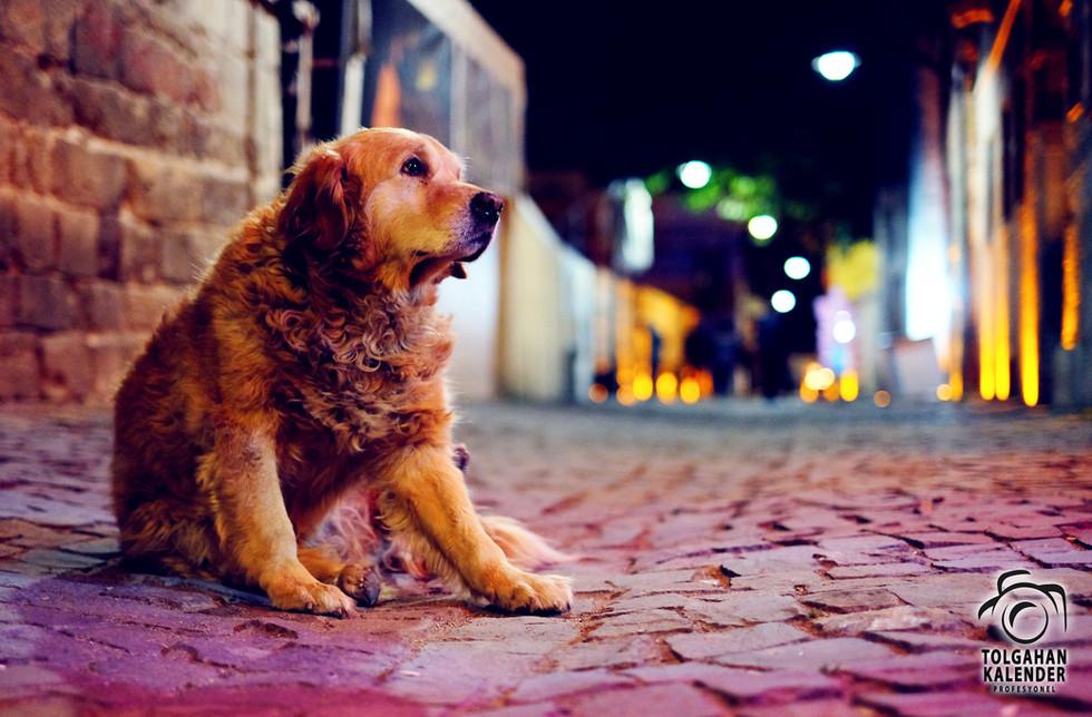 Köpek Portresi