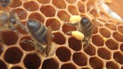 abeille noire avec pollen