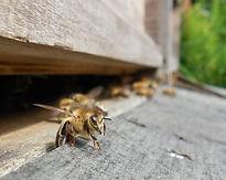 abeille gardienn