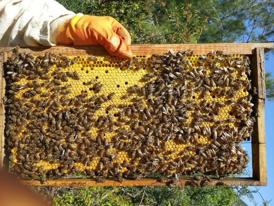 abeilles sur cadres