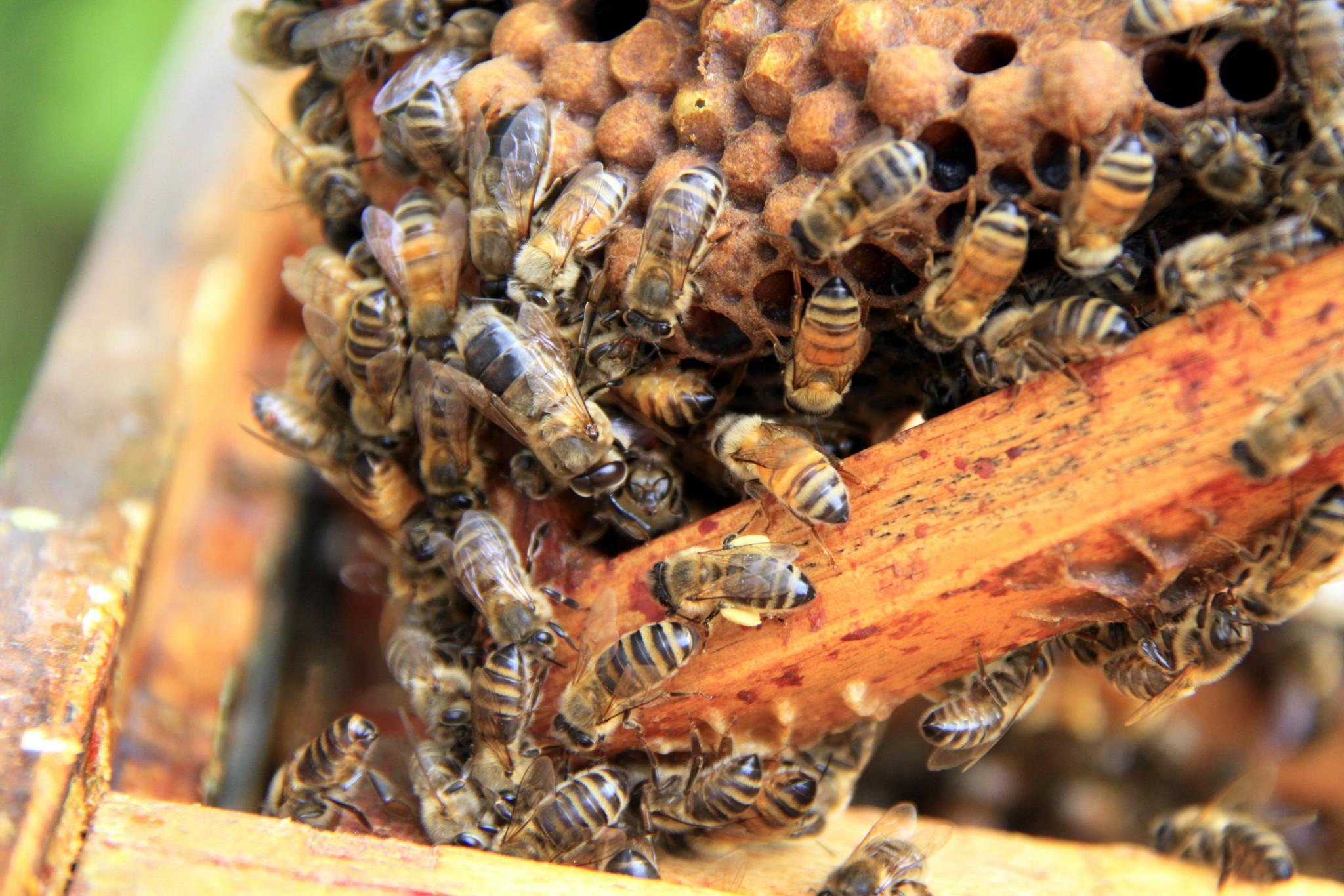 abeille et reine
