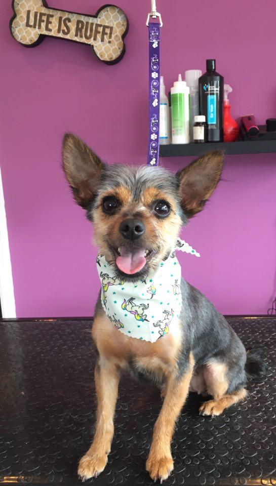 Yorkie X Chihuahua