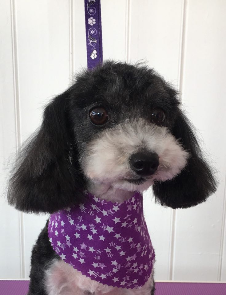 Poodle X Chihuahua