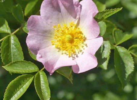 Hondsroos (Rosa canina)