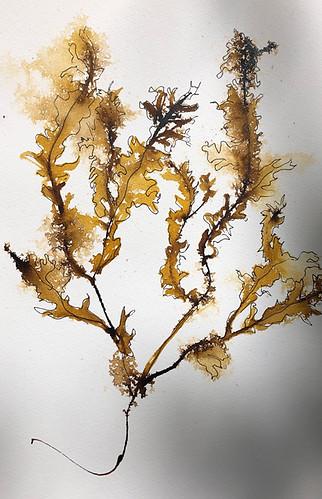 Seaweed Study in Brown